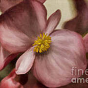 Dewy Pink Painted Begonia Poster
