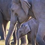 Dhikala Elephants Poster
