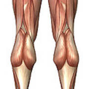 Diagram Illustrating Muscle Groups Poster