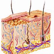 Diagram Showing Anatomy Of Human Skin Poster