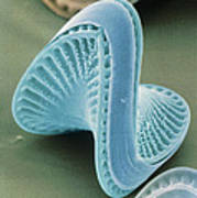 Diatom Algae, Campylodiscus Poster by Power And Syred