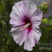 Dinner Plate Hibiscus Poster