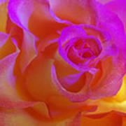 Disco Rose   Poster