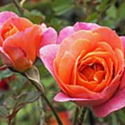 Disneyland Roses Poster