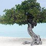 Divi Divi Tree In Aruba Poster