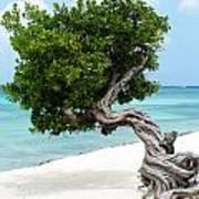 Divi Divi Tree In Aruba Poster