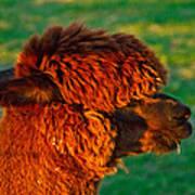 Do You Like My New Haircut Alpaca Poster