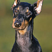 Doberman Pinscher Dog Poster