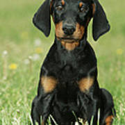 Doberman Pinscher Puppy Poster