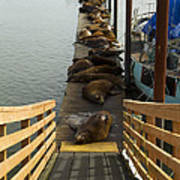 Dock Sea Lions Astoria Or 1 A Poster