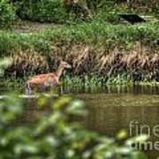 Doe Crossing The River Poster