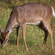 Doe In Cades Cove 2 Poster