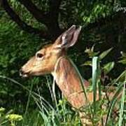 Doe In Tall Grass Poster