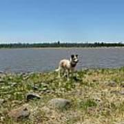Dog At The Lake Poster