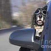 Dog In The Car Window Poster