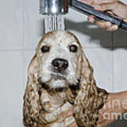 Dog Taking A Shower Poster