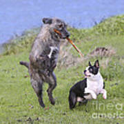 Dogs Playing With Stick Poster