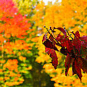 Dogwood And Fall Colors Poster