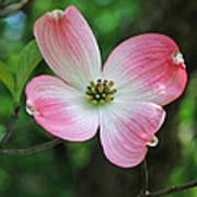 Dogwood Blosssom Poster