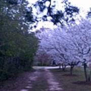 Dogwood Country Lane Poster