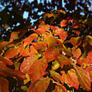 Dogwood In Autumn Colors Poster