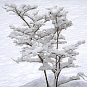 Dogwood In Snow Poster