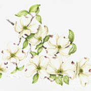 Dogwood In Spring Poster