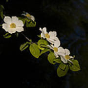 Dogwood On The River Poster
