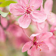 Dogwood Tree Bloom Close Up In Spring Poster