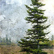 Dolly Sods Pine Poster