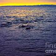 Dolphins At Sunset Poster