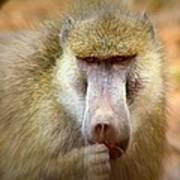 Dominant Male Baboon Poster