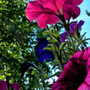 Donna's Blooming Petunias Poster