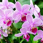 Doritaenopsis Flower Poster