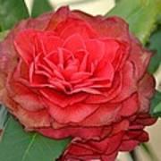 Double Blossom Camelias Poster