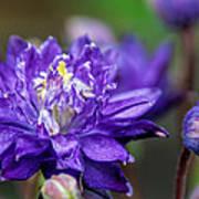 Double Blue Columbine Flower Poster