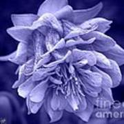 Double Columbine In Blue Poster