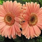 Double Delight - Coral Gerbera Daisies Poster