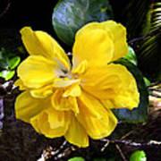Double Hibiscus Costa Rica Poster