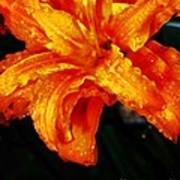 Double Petaled Lilly Poster