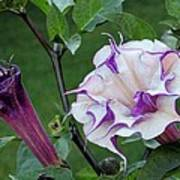 Double Purple Datura 6 Poster