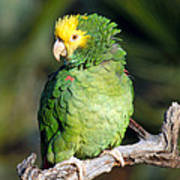 Double Yellow Headed Parrot Poster