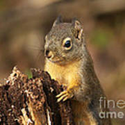 Douglas Squirrel On Stump Poster