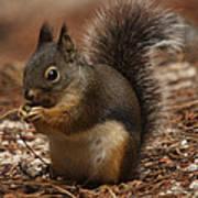 Douglas's Squirrel Poster