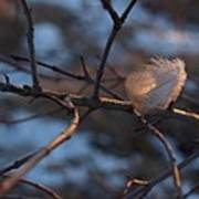Downy Feather Backlit On Wintry Branch At Twilight Poster
