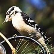 Downy Woodpecker 2 Poster