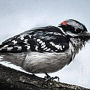 Downy Woodpecker 3 Poster
