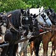 Draft Horses All In A Row Poster