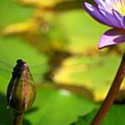 Dragon Fly On Bud And Water Lily Horizontal Number One Poster