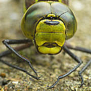 Dragonfly Close-up Poster